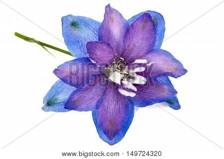 Flower of Delphinium (Larkspur) close-up isolated on white background