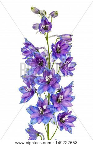 Flower of Delphinium (Larkspur) isolated on white background