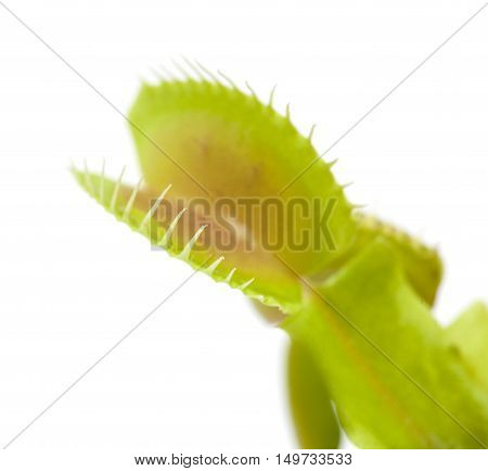 Venus Flytrap Plant
