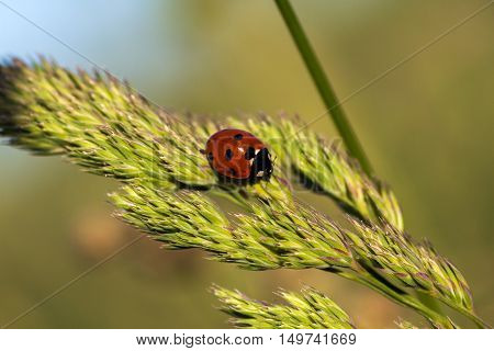 Ladybug on the wild grass. Macro photography of wildlife.