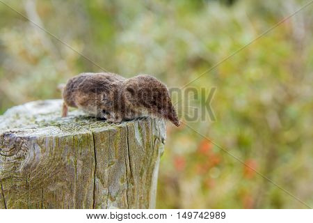 a dead shrew on a post in the dune region near The Hague the Netherlands