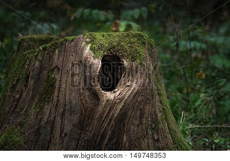 Huge old stump overgrown with moss with a hollow located in a large forest close Background