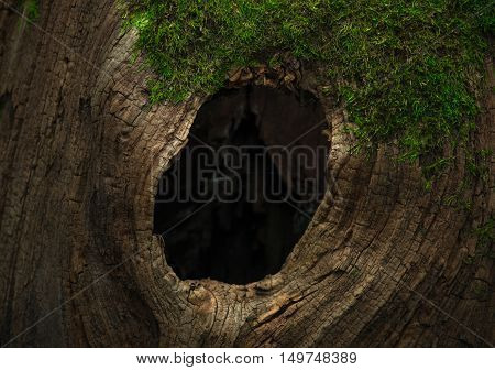 Tree hollow in the old moss-covered stump located in a large forest close Background