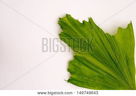 Leaf of Burmese Fishtail Palm with white background.