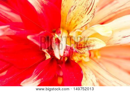 Macro Detail of a yellow red dahlia