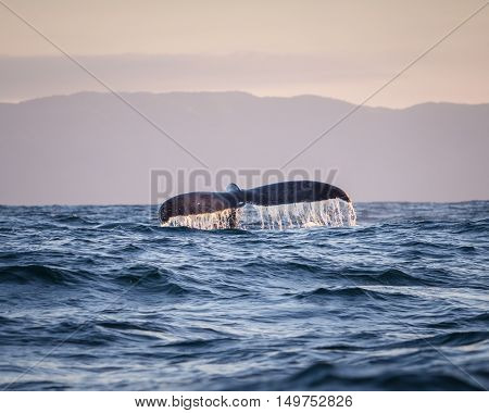 A big humpback whale splashes his tail