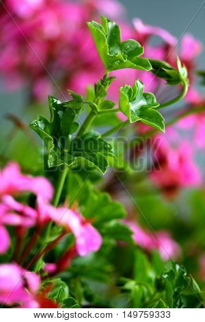 Pink geraniums in the home garden with selected focus on geranium green in the middle.