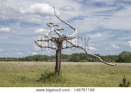 horizontal image of a very peculiar looking dead tree with bare gnarly wide reaching twirly branches sitting in a field in the summer time.