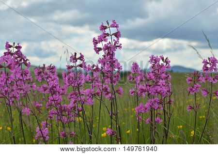 Close-up of pink spring wildflowers in a meadow on a cloudy day poster
