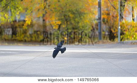 A Western Jackdaw flying over Road with autumn trees.
