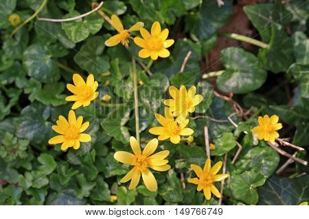 yellow Lesser Celandine Flowers in the spring