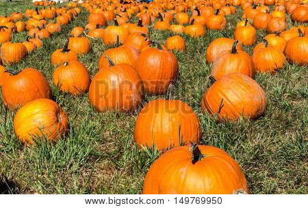 Many pumpkins in a field at Outhouse Orchard North Salem NY