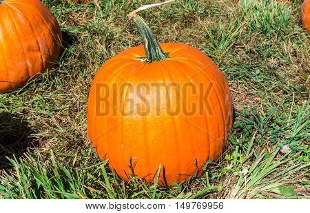 Pumpkin in a field at Outhouse Orchard North Salem NY