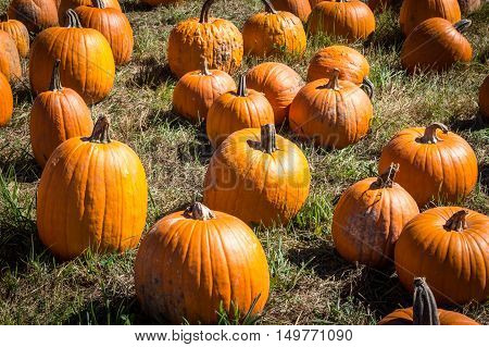 Pumpkins in a field at Outhouse Orchard North Salem NY