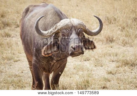 a large water buffalo on the african savanna