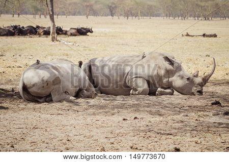 Large tired rhinoceros' sleeps on the african savanna