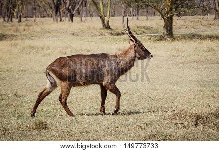 A antalope walks in a african savanna