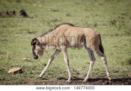 A baby willdabeast walks on the african savanna