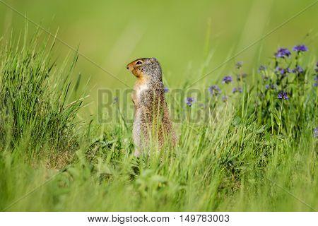 Columbian Ground Squirrel (spermophilus Columbianus)