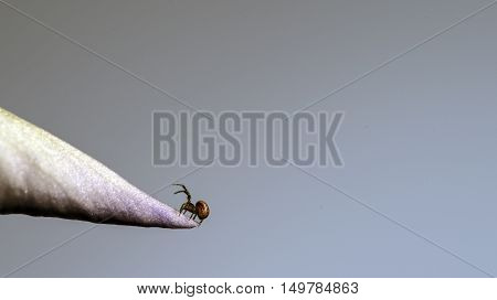 small spider on a iris flower petal studio macro closeup