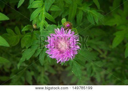 Cornflower knapweed centaurea lilac flower on the green in the garden