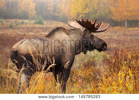 Moose Bull, Alaska, USA.  standing in a fall colour meadow