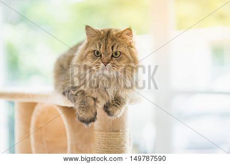 Cute Persian cat sitting on cat tower