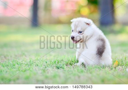 Siberian husky puppy sitting on green grass under sunlight