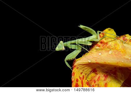 Praying Mantis Insect Flower in the garden on black background