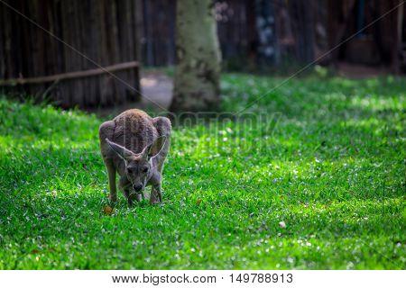 Kangaroo On Green Grass.