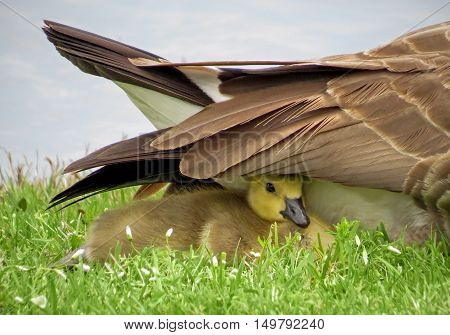 Baby Canada goose gosling under the feathers or wing of adult Canada goose.