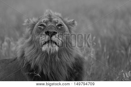 Male Lion sniffing the air in The Kruger National Park South Africa