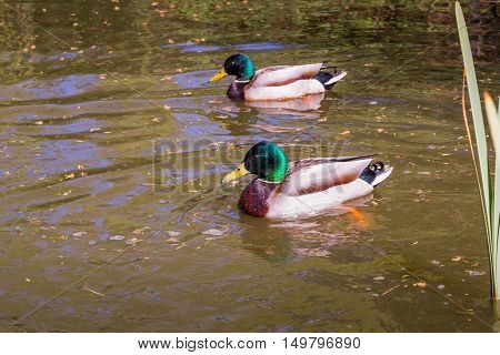 Birds and animals in wildlife. Mallard duck swims in lake or river under sunlight landscape.