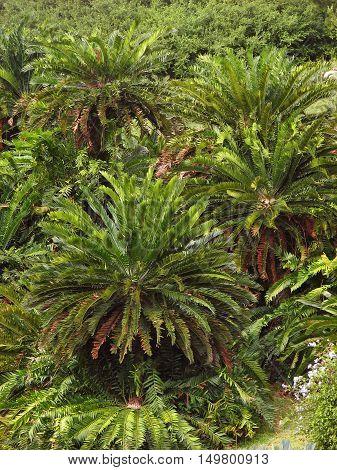 Cycads, From Kirstenbosch Botanical Gardens, Cape Town South Africa