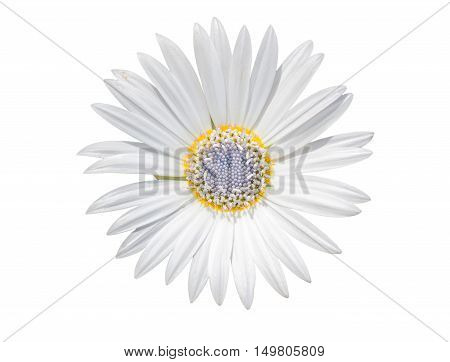 White Chamomile Flower With Purple Pistil Isolated On White