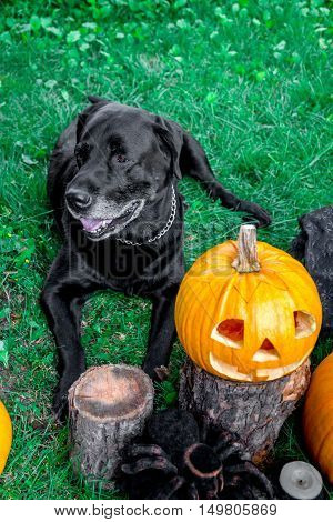 Black labrador near Jack-o-Lantern outdoors. Halloween. Dog with