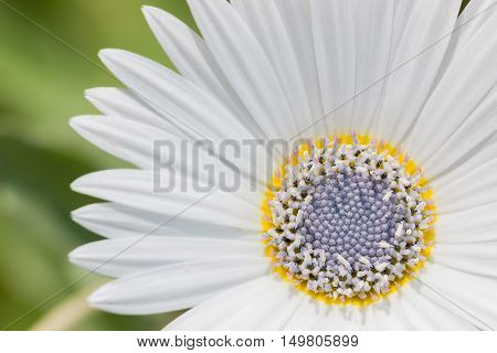 A White Chamomile Flower With Purple Pistil.