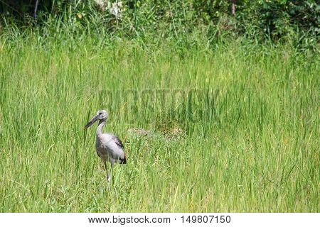Stork select focus with shallow depth of field in green cornfield.