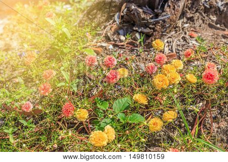 small flower red and yellow color lumber and sunray