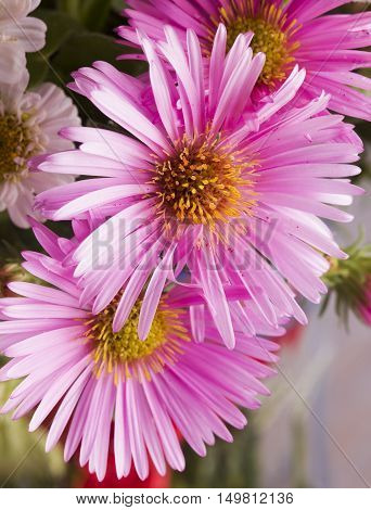 Pink Daisies In Close Up