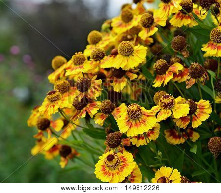 Bunch of yellow daisy flowers in the autumn. Vintage seasonal background. Nature in blossom, retro garden concept
