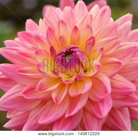 Close up of pink dahlia flower in the garden, macro seasonal background. Nature in blossom