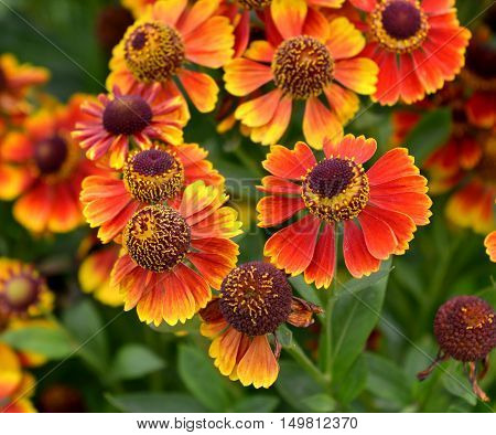 Close up of beautiful orange daisy flowers blooming in autumn. Vintage seasonal background. Nature in blossom, retro garden concept