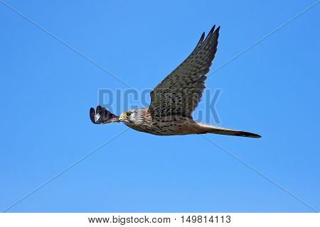 Common kestrel (Falco tinnunculus) in flight with blue skies in thebackground