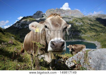 Cattle in Pennine Alps in Switzerland. Europe