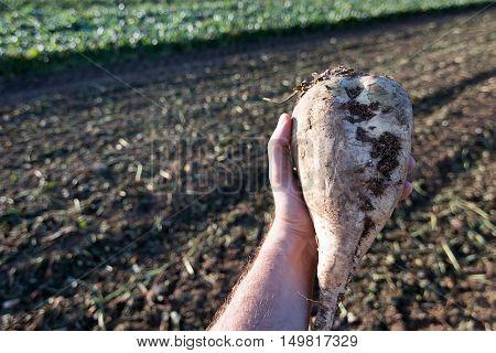 Hand Holding Sugar Beet. Sugar Beet Harvest.