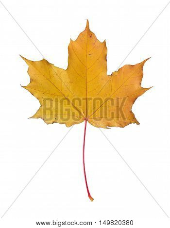 Yellow maple leaf isolated on a white background.