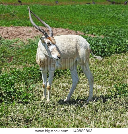 horned oryx standing in grassland looking straight to camera