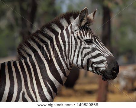 Zebra portrait with striking black and white stripes