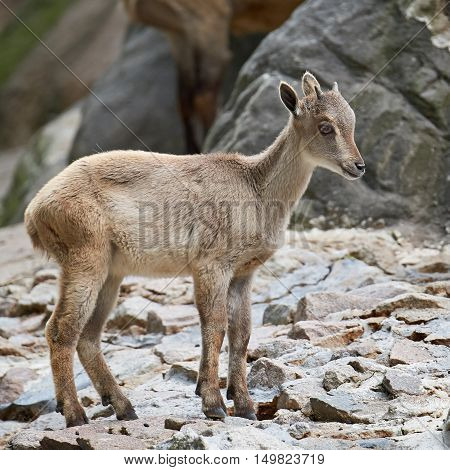 Juvenile Himalayan tahr (Hemitragus jemlahicus) standing on cliffs in its habitat